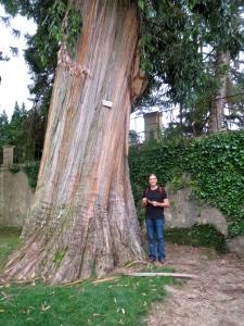 Messmate Eucalyptus obliqua